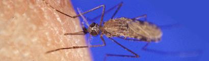 AnophelesGambiaemosquito