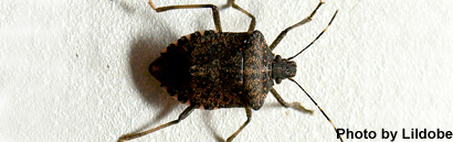 Brown_marmorated_stink_bug