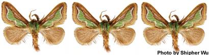 flame-moth