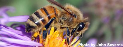 honeybee34