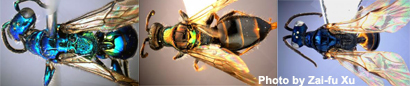 chinese-wasps-feat