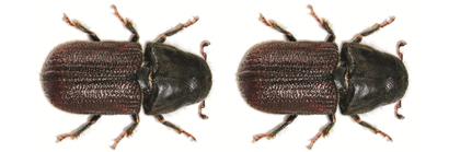 The_mountain_pine_beetle