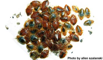 bedbugs-szalanski