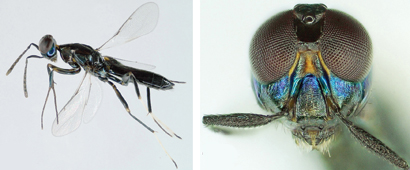 Callimomoides-monochaphagae-male