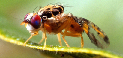Ceratitis_capitata_mediterranean_fruit_fly