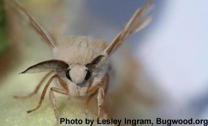 Bombyx-mori-silkworm