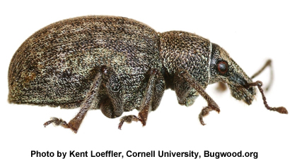 alfalfa-snout-beetle