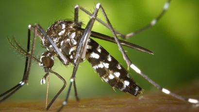 CDC-Aedes-albopictus
