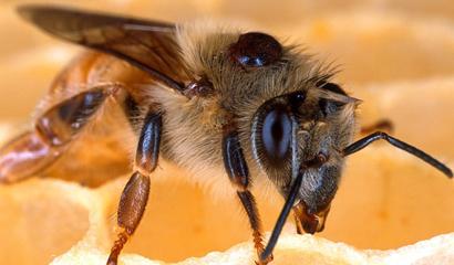honeybee-mite