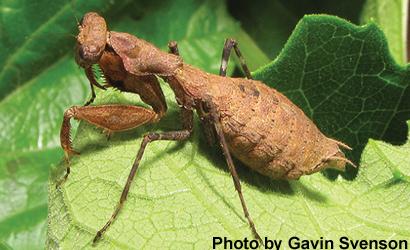 rwanda-mantis