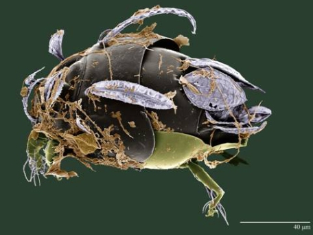 Amazon white mite. Photo by the USDA ARS, Electron & Confocal Microscopy Unit, Beltsville, MD by Dr. Gary Bauchan.