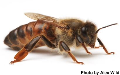 What Adaptations Does the Honey Bee Need to Survive?
