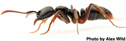 how to get rid of asian needle ants