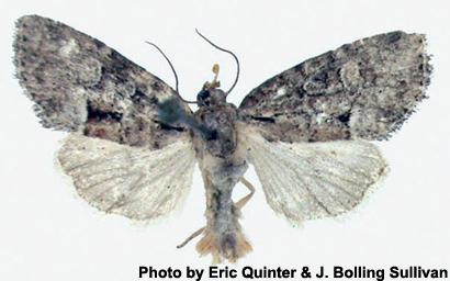 attakulla-moth