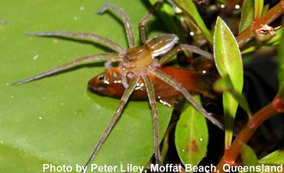 fish-spider