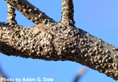 gloomy-scale-insects