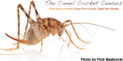 Asian Camel Crickets Are Displacing Natives In U S Homes
