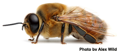 Honey Bee Hive Population of 4,000 Triggers Rearing of Male Reproductives