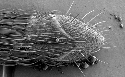 Sensory hairs at the tip of the proboscis of the yellowfever mosquito have cells that respond to a feeding deterrent and the mosquito repellent DEET. Photo by Joseph Dickens and Gary Bauchan.