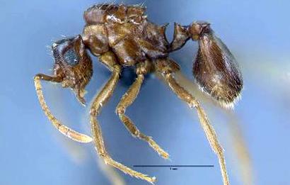 Mycocepurus-castrator
