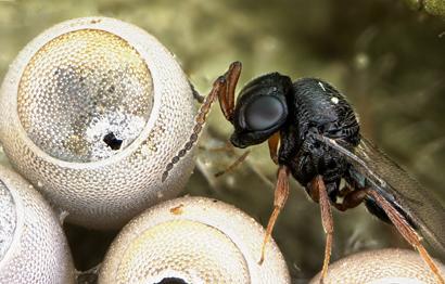 parasitoid-wasp