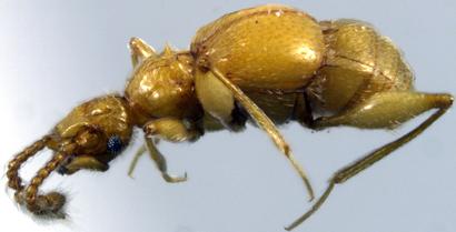 Batrisodes-dorothae