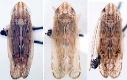 Futasujinus-leafhoppers-dorsal