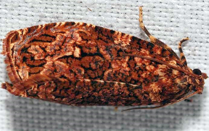 Phaecasiophora-fernaldana