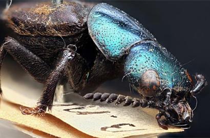 Darwinilus-sedarisi