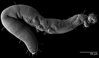 osperalycus-tenerphagus-feature