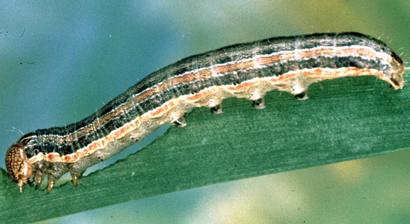 Spodoptera-frugiperda-wp