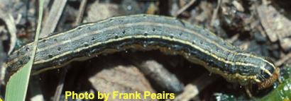 Spodoptera-frugiperda2