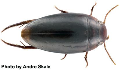 Exocelina-pinocchio