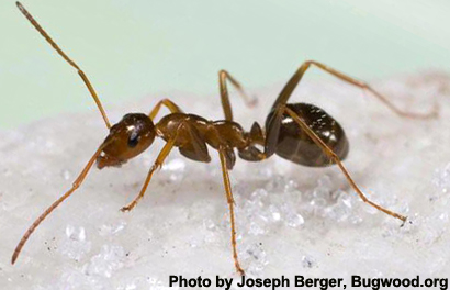 formica-ant