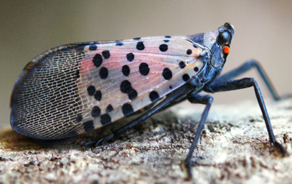 The Spotted Lanternfly: An Invasive Insect that is ...