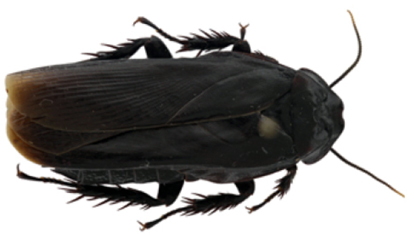 Panesthia-guizhouensis