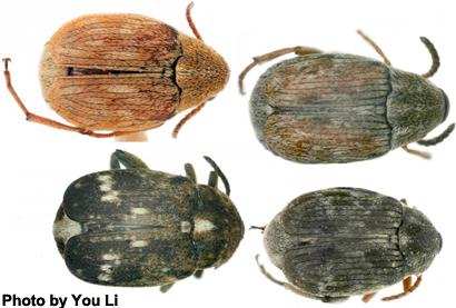 chinese-beetles