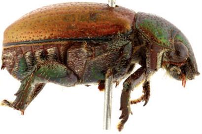 Beetles Found Beetles Found Hiding in