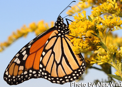 MNL's Planting for Monarchs Directrices | Paisajes nativos de Minnesota
