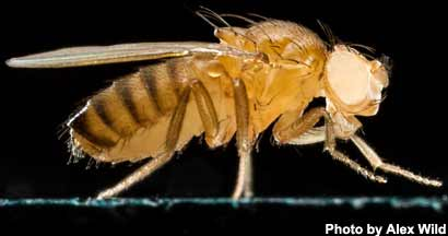Drosophila-melanogaster-AW32415