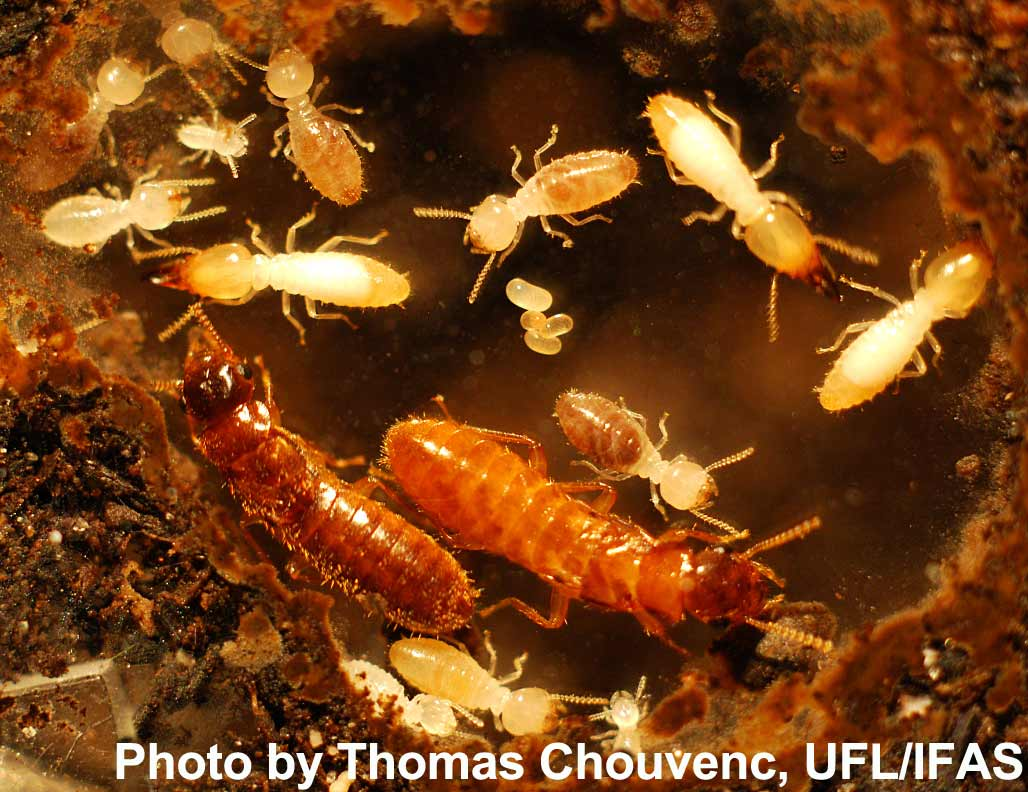 Bộ sưu tập Côn trùng - Page 4 Hybrid-termites-large