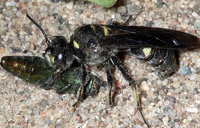 Cerceris-fumipennis