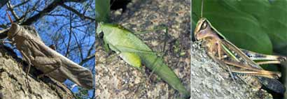orthoptera-song2