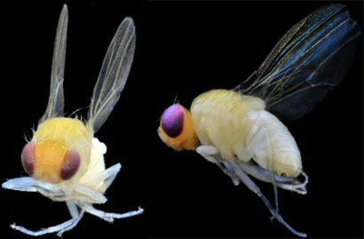 Drosophila-gentica-wp