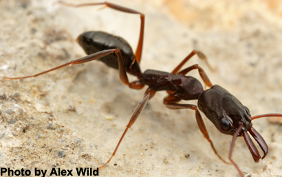 Trap Jaw Ant Jump Trap-jaw Ants Use Mandibles