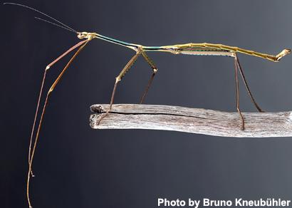 Phryganistria-tamdaoensis