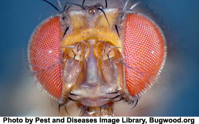 Drosophila-melanogaster33