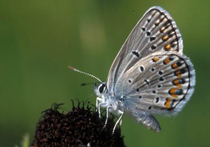 Lycaeides-melissa-samuelis