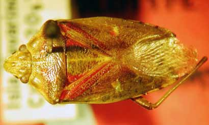 Patagonian Shield Bug Named After Middle's Earth's Smau…