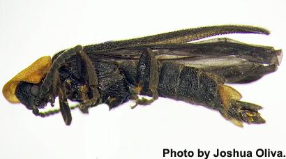 ucr-Firefly